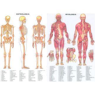 Anatomiplanscher 2-set 50x70 cm